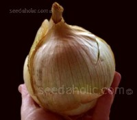 Onion 'Globo' has the classic 'flask' shape with pale straw skin colour and dark veining.