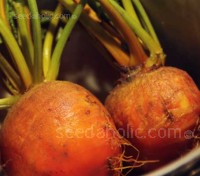 These golden beauties are an absolute delight, with a slightly honeyed taste they are sweeter than red beetroots.