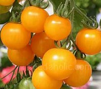 "Tomato ""Golden Sunrise"" is an early variety and an excellent tomato for glasshouse or outdoor"