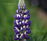 George Russell developed his Lupins by rigorous selection of seedlings, he produced one of the most popular and distinctive plants in history,