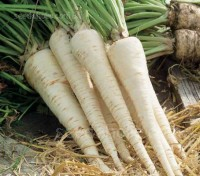 The root of Root Parsley Hamburg can be left in the ground all winter and dug up as and when your Sunday roast requires.