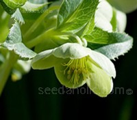 With bowl shaped, nodding flowers the colour of 'Granny Smith' apples, the Corsican Hellebore is an unmistakable plant