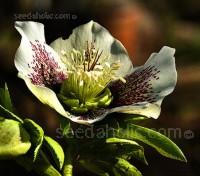 Helleborus x hybridus 'Joy Hybrids'