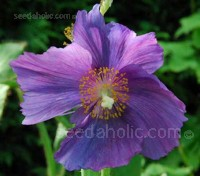 Meconopsis baileyi 'Hensol Violet' has proven to be a good perennial form and has become firmly established in cultivation
