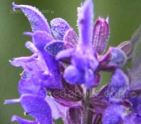 Hyssop is an aromatic herb similar to rosemary or lavender which is enjoying a revival with home gardeners.