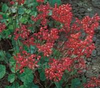 Heuchera sanguinea 'Firefly'