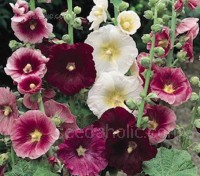 If planted early in spring, Indian Spring will bloom the first year in wonderfully warm shades of ruby through pink and rose to white.