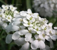 Iberis umbellata 'White' are covered with dense clusters of flowers throughout summer.