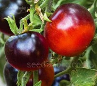 'Indigo Apple' is a development from 'Indigo Rose', bred to be early ripening.