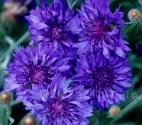 Cornflower 'Jubilee Gem' produces dense heads of large, double flowers of a beautiful deep blue