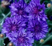 Cornflower 'Jubilee Gem' produces dense heads of large, double flowers of a beautiful deep blue