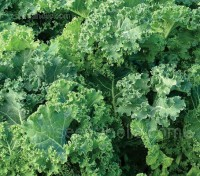 Kale Pentland Brig produces young crown leaves from November, the leafy side shoots are picked like broccoli.