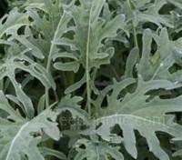 'Jagallo Nero' is a cut leaf form of Cavolo Nero, the more familiar Italian black cabbage.