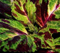 Grown for its outstanding foliage colours, Kong Coleus will add a touch of the jungle to your flower beds or containers