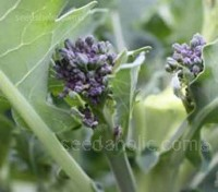 Late Purple Sprouting Broccoli follows on from Early Sprouting and has been selected for its hardiness and flavour.