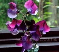 Lathyrus odoratus, Grandiflora 'Matucana'