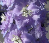 'Magic Fountains Lavender' is an elegant delphinium with densely packed flower spires of lavender blooms each with a white bee.