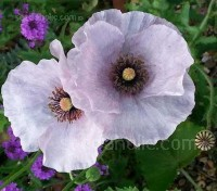 This is still one of the most distinctive, yet subtle blends of poppies available today.