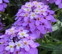 Iberis umbellata is a popular and easily-grown annual plant that is perhaps more versatile than you might imagine.