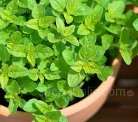 Sweet Marjoram is an essential culinary herb and fresh or dried, no cook should ever be without it.