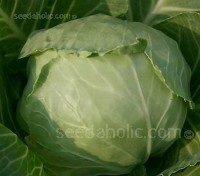 Cabbage 'Marner Large White' is a popular European white ball cabbage.