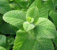 Mint, Mentha rotundifolia, 'Egyptian Mint'