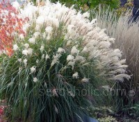 The plants are topped with large silky white plumes throughout autumn and winter and into early spring.