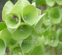 Moluccella is a fast-growing border plant with unusual qualities including an ability to survive for months as a cut flower.