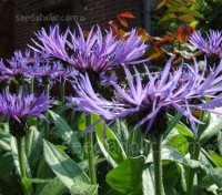 "Centaurea montana or ""Mountain bluet"" flowers from late spring to early summer."