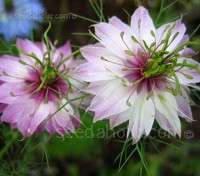 "Nigella ""Persian Jewels"" bears delicate, old-fashioned flowers each backed by a wispy, bright green ruff."