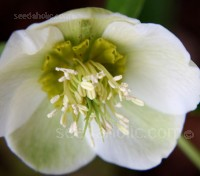 "White Flowers....despite being called the ""Black Hellebore"""