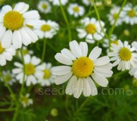 In the realm of simple herbs, few have garnered such a reputation for success as the lowly chamomile.