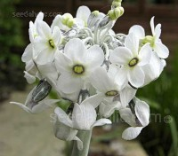 Primula chionantha sub-species chionantha is a robust plant that has been described as the best white garden Primula.