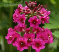 Primula pulverulenta have strong stems that hold tiered whorls of deep red flowers