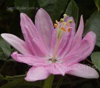 Passiflora mollissima produces beautiful pink flowers and edible 10cm long yellow fruits.