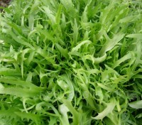 Italian Frisée Pancalieri has curly and strongly lobed leaves with a self-bleaching, creamy white interior.
