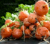Carrot 'Paris Market Atlas' is an improved variety of the 19th century French heirloom.