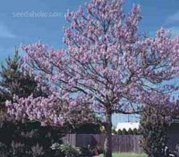 Paulownia tormentosa is known by many names; regardless of what you want to call it, there is no doubt about its impressive ornamental features.