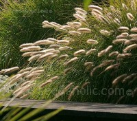 Pennisetum alopecuroides has slender arching leaves and graceful fountain-like plumes.