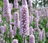 Persicaria flowers are clustered in a cylinder shape on the top of tall flower spikes.
