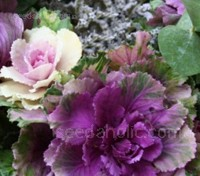 Brassica, Ornamental 'F1 Pigeon Mixed'