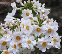 Primula japonica 'Postford White' is almost certainly the most impressive of all of the tall white primulas.