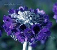 'Noverna Deep Blue' is a fascinating primula with the most intense, deep blue-violet flowers.