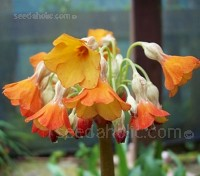 Primula florindae have fragrant flowers that give a spectacular display from late June right through early September.