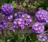 Primula denticulata 'Lilac'