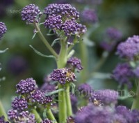 Broccoli 'Early Purple Sprouting'