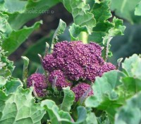 Purple Sprouting Broccoli 'Red Arrow' is an early-maturing, purple-red broccoli that will help extend the picking season.