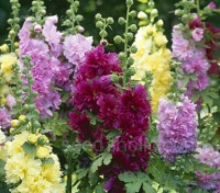 The shortest in the Alcea rosea family. 'Queeny' is a dwarf Hollyhock that reaches only 60cm (24in) in height