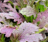 'Red Dragon' has broad but heavily indented leaves that are beautifully patterned, with lime green petioles and purple veining