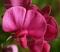 This perennial relative of the annual sweet pea is justifiably popular; it will bloom throughout the summer months.